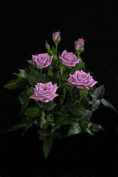 """Lavender Veranda® Rose Bush - Fragrant/Hardy - 4"""" Pot"""
