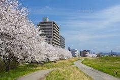 桜並木 河原 イラスト - Google 検索