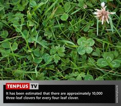 Fact of the day: odds of finding a four-leaf clover