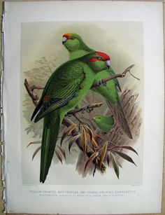 NZ Yellow-Fronted & Red-Fronted Parrakeets by JG Keulemans (from Walter Buller's 'A History of The Birds of New Zealand' - Nature Prints, Bird Prints, Bird Illustration, Illustrations, Colorful Birds, Natural History, Amazing Art, New Zealand, Parrots