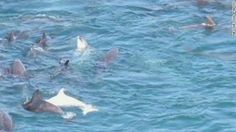 How hunters slaughter dolphins in Japan. I can't stand how horrifying this is!  This must stop!