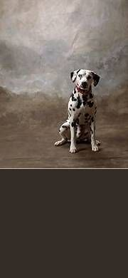 Free Cute Pet & Animal Stationery for Facebook, Twitter and Email - Dog, Dalmation.