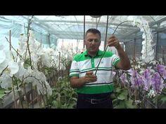 Dç dr Soner Kazaz phalaneopsis orkidesinin sera da bakımını ve kesme çiçek olarak üretimini anlatıyor. Hocamıza verdiği değerli bilgiler için teşekkür ederiz.