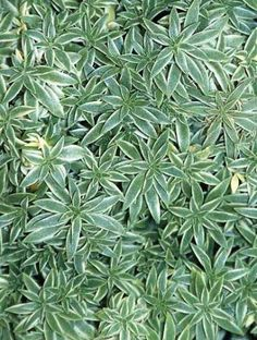 Sedum lineare 'Variegatum' Cream & Green - A creeping, low growing, spreading Sedum. Fantastic white/green variegated foliage. A real eye catcher. Maintains nice foliage all year. A great ground cover, or for planters and rock gardens.  Sun to part shade.  Height 3-5 inches.  Zones 3-10.
