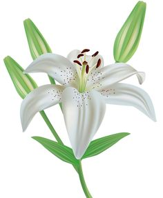 Lily Flower Clipart PNG Image