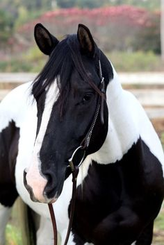 Pretty black and white Paint horse.