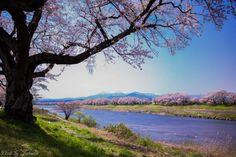 145:「桜並木の向こうには蔵王連峰が望めるこの公園。 私の大好きな場所です。」@船岡城址公園
