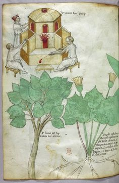"""Tractatus de Herbis (ca.1440) Selections from a beautifully illustrated 15th century version of the """"Tractatus de Herbis"""", a book produced to help apothecaries and physicians from different linguistic backgrounds identify plants they used in their daily medical practise. No narrative text is present in this version, simply pictures and the names of each plant written in various languages. miniatures of plants and men in the process of glass-making"""