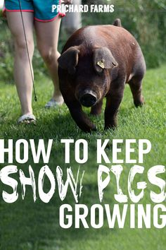 Tips for getting show pigs to eat more and grow faster for FFA, and Open Stockshows. Pig Showing, Pig Breeds, Pigs Eating, Pig Pen, Teacup Pigs, Showing Livestock, Pig Farming, Animal Projects, Fair Projects