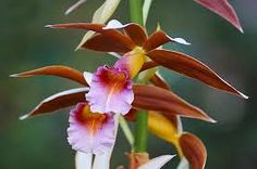 Phaius tankervilliae - It is a robust plant with oval shaped leaves up to about a metres long and flowering stems which may reach 2 metres. The flowers are the largest of any Australian orchid. The individual flowers are reddish brown and white in colour. Flowering occurs in spring. This species has become an invasive species in some countries such as Jamaica and Hawaii. In Papua the smoked flowers are eaten as a contraceptive.