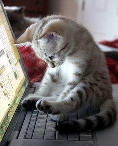 laptop kitten....looks like my kitten :)