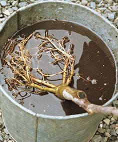 Planting Bareroot Trees: Take these steps to get mail-order trees off to a healthy start. Read more here http://www.finegardening.com/how-to/articles/planting-bareroot-trees.aspx