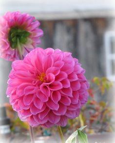 Round Pink Dahlias