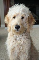 Goldendoodle: Sweet, intelligent, playful, non-shedding, great dog!