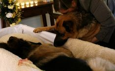 Animals grieve too. German Shepherd funeral) OMG, this is so sad! Military Working Dogs, Military Dogs, Police Dogs, War Dogs, Animals And Pets, Cute Animals, Sad Pictures, Service Dogs, German Shepherd Dogs