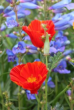 Pretty natives Eschscholzia 'Red Chief and Penstemon 'Blue Springs' by anniesannuals, via Flickr