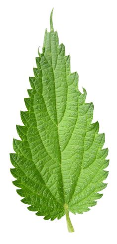 Nettle - 20 Best Skincare Herbs for Eczema - Eczema comes in many different shapes and forms, but is essentially a chronic inflammation of the skin. The word 'eczema' comes from Greek and means 'to boil over' which just about summarises the way inflamed skin can look. There are many botanical extracts which can soothe this inflammation and treat many of the other symptoms associated with eczema. This blog post looks at 20 of the best ones.