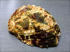 Haliotis ovina, Philippines, 46,5 mm