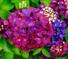 IL SIGNIFICATO DEI #FIORI #ORTENSIA  L'ortensia con i suoi mille fiori colorati vi trae in inganno: sembra un fiore da regalare con un gesto romantico ma il suo significato vi farà cambiare idea!   Le ortensie sbucano in tantissimi giardini: facili da curare, sono i fiori ideali da far seccare per creare un centro tavola creativo e chic. Se però vi è venuto in mente di regalarla a qualcuno, pensateci due volte!