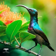 Thinking about the warmer months as much as we are? These trees are most likely to bring beautiful wildlife such as the lovely Sunbird into your garden.   1. Indigenous coral trees  (Erythrinas)  2. Natal mahogany (Trichilia emetica) 3. Tree fuchsia (Halleria lucida)  Sunbirds like a place to bathe and have been known to dart through sprinkler systems, so some kind of water source will be bound to lure them in for a dip.