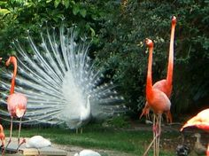 white peacock - Picture of Busch Gardens Tampa, Tampa - TripAdvisor