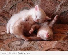 I want a ferret so that he and Peluche can sleep like this.