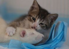 Fearless Rats Are Caring For Orphan Kittens At This Magical Cat Cafe