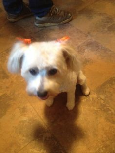 Not overly happy with her cut and the orange bows, gotta go! Her Cut, Spa Day, Beautiful Dogs, Chinese, Bows, Orange, Happy, Animals, Cute Dogs