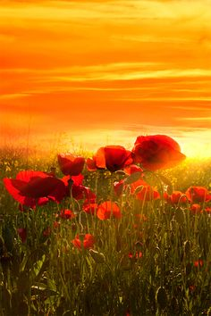 Warm sunset and poppies ! This reminds me of a field in Tuscany that Gwen and I found while Vespa-ing....,