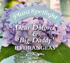 What southern garden is complete without this garden headliner? 'Big Daddy' Hydrangea blooms brighten in spring while our Dear Dolores™ variety reblooms spring through fall.