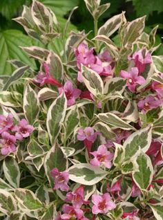 My Monet Weigela- small bush 12in-18in  high with a spread of 18in-24in wide. Zone 4-9  Sun to partial sun.....Great for accent and low to ground displays....Love it!!!!