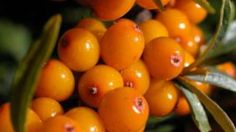 You probably never heard of Sea Buckthorn, even though this shrub can grow in your backyard. Full with vitamins, antioxidants, and essential oils this berry is full of health benefits. Herbal Remedies, Natural Remedies, Benefits Of Berries, Organic Supplements, Herbalism, Herbs, Shangri La, Diet Cake, Health Education
