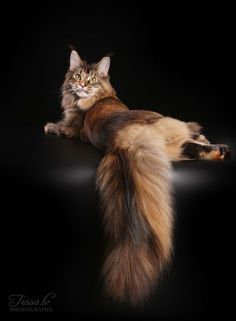 Beautiful Maine Coon http://www.mainecoonguide.com/maine-coon-vs-norwegian-forest-cat/