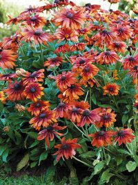 Cappucino Rudbeckia. image is a bit small, but nice flowers -lw