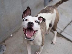 SHE HAS A CHANCE WITH A RESCUE, BUT SHE NEEDS FOSTER/ADOPTER OR THEY WILL KILL HER! NYC ACC GHENGA – A1042063 | Help us Save NYC AC&C Shelter Dogs