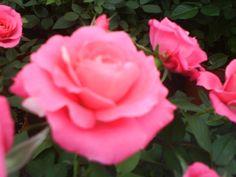 I love Rosé