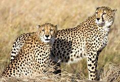 Beautiful Cheetahs In The Wild - Infinite Safari Adventures blog