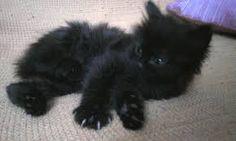 Výsledek obrázku pro gatto nero