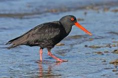 Image result for new zealand oystercatcher