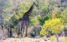 Télécharger fonds d'écran Girafe, Afrique, faune, forêt