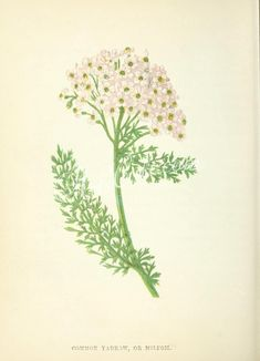 flowers-00896 COMMON YARROW OR MILFOIL      ...  botanical floral botany natural naturalist nature flowers flower beautiful nice flora plants blooming ArtsCult.com Artscult ArtsCult vintage printable public domain 300 dpi commercial use 1800s 1700s 1900s Victorian Edwardian art clipart royalty free digital download picture collection pack paintings scan high qulity illustration old books pages supplies collage wall decoration ornaments Graphic