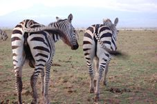 "Kenya Safaris tour  via varied ecosystems, climatic and vegetation  regions, diverse cultures and magnificient scenery and Land forms.    The Kenya safari starts at the Kenya Coast beaches and visits class ""A""  national parks of  Tsavo East, Amboseli and Lake Nakuru including the Masai Mara reserve.  http://www.naturaltoursandsafaris.com/mombasa_kenya_safaris.php"