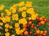 Marigolds=Mosquito repellent! This website has 5 Easy growing Mosquito repellents and I'm ready to get planting!! Lowe's here we come!