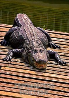 I LOVE Alligators!!!