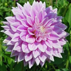 Dahlia 'Ferncliff Inspiration' - Rose Cottage Plants