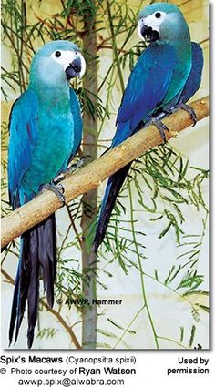The Spix's Macaw (Cyanopsitta spixii) - also known as the Little Blue Macaw - is by far the rarest Macaw in the world with no known wild specimens remaining (IUCN, 2004)