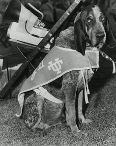 Tennessee Volunteers mascot, Smokey II (1955-1964). He took over for his father as Vols mascot at 3 months old. He once was famously kidnapped by Kentucky students in 1955, and he gained more notoriety for tangling with the Baylor bear at the 1957 Sugar Bowl. He died in November 1963 the day after the UK game after someone fed him a chocolate pie.