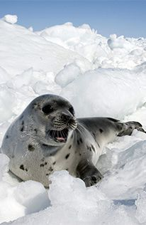 After just a few days of the annual Canadian seal hunt, more than 76,000 seals have already been killed – most of them only a few weeks old