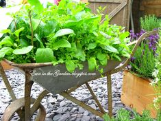 Ewa in the Garden: Old wheelbarrow with arugula, lettuce and parsley...