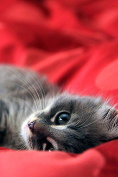 oooh, who could resist that face? #red #grey #cat